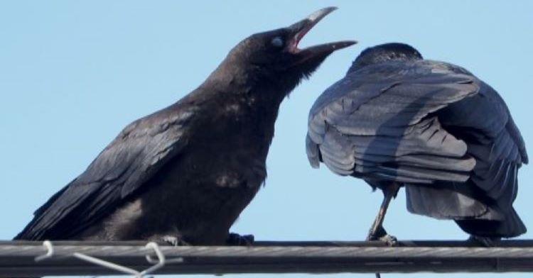 カラス の 鳴き声 意味 カラスの鳴き声の種類!変な声や会話の意味を徹底解説!